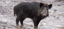 Peste porcine: appel à la conscience citoyenne